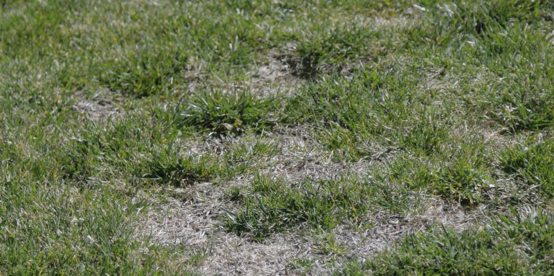 how to fix a thin bare lawn, restore your lawn, summer tips, watsonville marina gilroy ace hardware