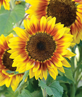 what flowers to plant in summer, sunflowers in summer garden, tips for summer, watsonville, marina, gilroy, ace hardware